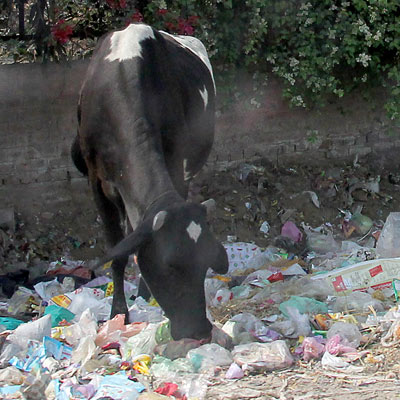 Cows eating plastic